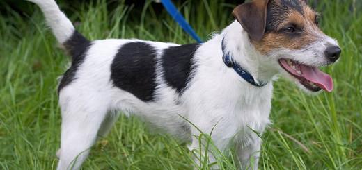 Un Parson Russell, un petit chien qui peut souffrir d'arthrose