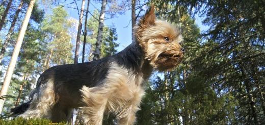 Un yorkshire terrier en pleine nature. Contactez Oki Square Kennel pour connaître les disponibilités de chiots