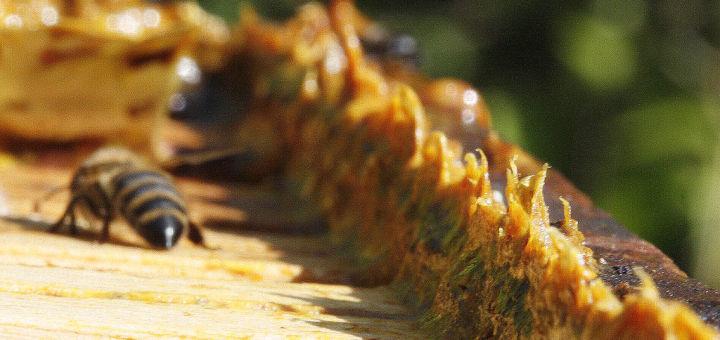 Propolis à l'état naturel. La propolis Famille Mary est traitée pour en tirer les meilleures propriétés