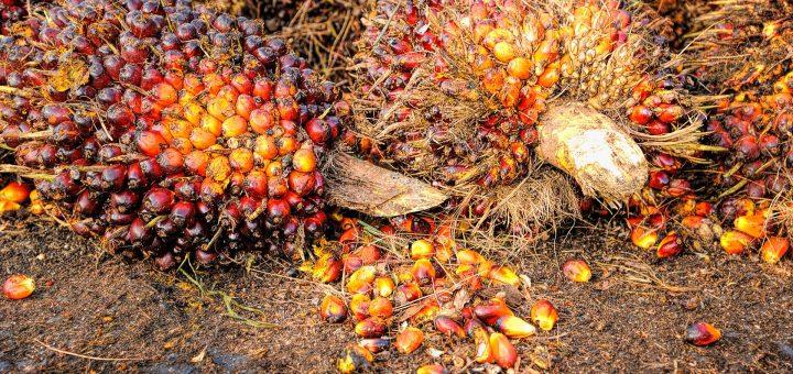 récolte de l'huile de palme